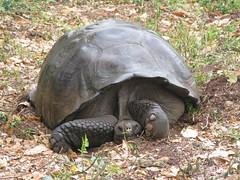 Tortoise, Santa Cruz Island