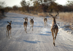 Traffic jam on the road - Etosha Park Namibia (Eric Lafforgue) Tags: namibia 1410