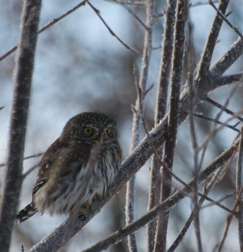365|365 - Northern Pygmy Owl