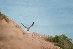 (Ink On |  ) Tags: ocean cliff bird wings flight sa southaustralia kestrel 2010 cenchroides maslinbeach joelc