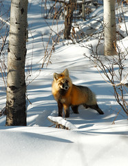 Curious Fox (Todd Klassy) Tags: travel trees winter light red wild portrait sunlight snow color cute nature beauty look animal vertical standing forest woodland season fur mammal outdoors golden eyes furry woods montana solitude day mt looking hiking snowy wildlife hunting deep fluffy ears nobody visit brush arctic fox trunk curious glaciernationalpark wilderness aspen predator sideview creature facetoface staring habitat mothernature isolated muzzle carnivore stockphoto vertebrate dense wooded ducklake redfox stockphotography destinations oneanimal babb lookingatcamera beautyinnature animalthemes polarclimate montanaphotographers toddklassy