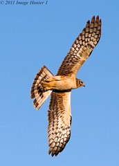 Northern Harrier (Image Hunter 1) Tags: blue sky nature birds flying wings louisiana bayou swamp marsh wingspan flighty northernharrier wingspread t2i birdslouisiana canont2i