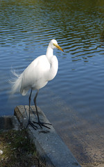 St Pete Egret (moelynphotos) Tags: water birds animals stpetersburg scenery gulf natural florida egret whitebird gulfcoast moelynphotos