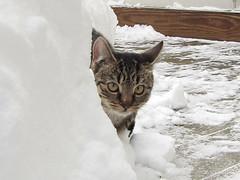 Snow adventurer Panini (rushedblue) Tags: winter cats snow cute cat kitten kitty kittens kitties 20101227
