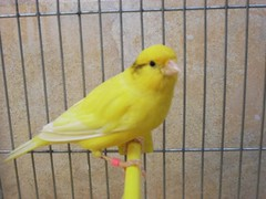 bird yellow cage canary