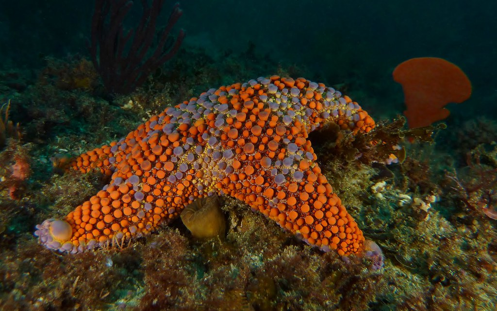 Starfish - Ulladulla