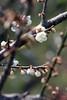 尋找 (samyaoo) Tags: bokeh plum taiwan 南投 台灣 plumblossoms 梅花 nantou shinyi 信義 牛稠坑 柳家梅園 百微 散景 ef100mmmacrof28