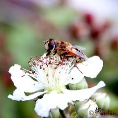BEE #2 (Fänfän) Tags: naturaleza flower nature fleur flor bee abeja abeille fänfän ltytr1