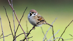 Tree sparrow by chapmankj75, on Flickr