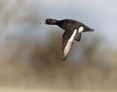 """Tufted Duck"" (CliveDodd) Tags: duck flight waterbird tufted drake aythyafuligula wwt tuftedduck slimbridge wildfowl"