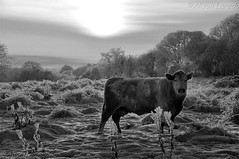 Winter in the countryside (alison laredo) Tags: ireland winter sun snow field evening cow cattle mayo castlebar wwwalisonlaredocom