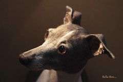 Bella Boo.. (joy7d) Tags: dog greyhound brown cute eyes italian puppies sweet bella italiangreyhound pootalians