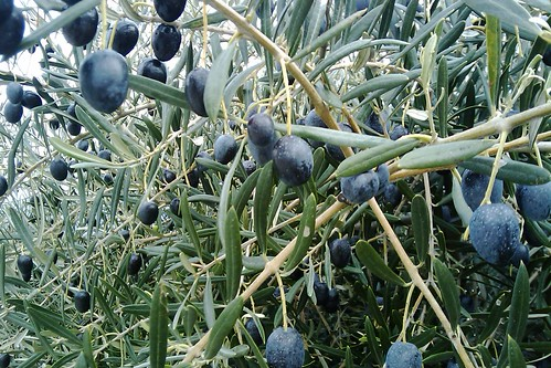 Last olives left in the trees, the harvest is over
