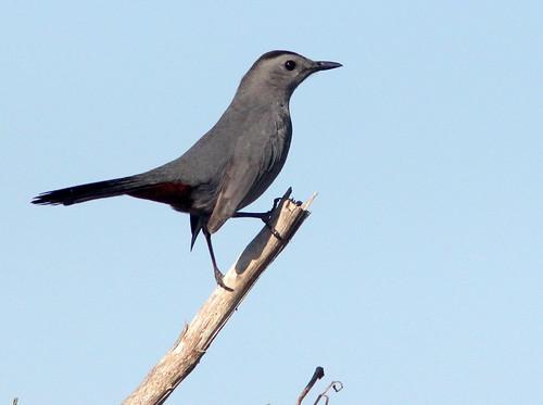 Gray Catbird 20110120