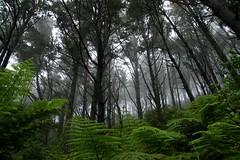 Ferny forest (Johan_Leiden) Tags: newzealand forest northisland ferns coromandel