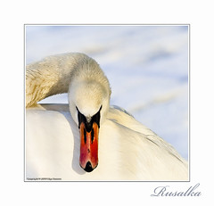 (Matilda Diamant) Tags: winter bird nature oslo norway swan rusalka magicunicornverybest selectbestexcellence magicunicornmasterpiece sbfmasterpiece cedruseternum