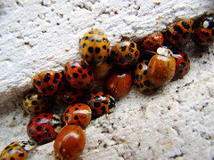 Ladybug-a-palooza (Jason A. Samfield) Tags: red orange black color macro brick nature colors beautiful yellow lady composition contrast wow bug insect outdoors spring amazing interesting wings colorful texas many wing insects spot bugs dot spots hues surprise ladybug spotted ladybugs yellows dots shelter reds blackspot discovery supermacro hue aphid springtime surprising stupendous reddish aphids blackspots yellowish orangeish orangish sheltering blackdot blackdots wingedinsect redhue redcolor redhues redladybug wingedinsects reddishhue redcolors redladybugs spottedladybug orangeladybug orangeladybugs reddishhues reddishcolor variousladybugs plainladybugs plainladybug spottedladybugs reddishcolors