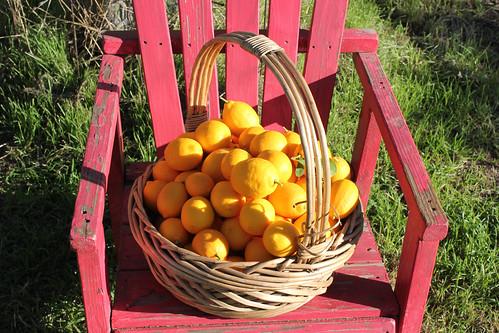 lemons lemons lemons!