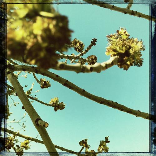 tree buds!
