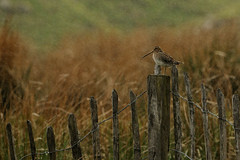 Snipe In The Rain. (stonefaction) Tags: nature birds scotland angus wildlife glens faved snipe
