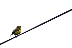 Olive-backed Sunbird ♀ (Tj, Editor of Stuff) Tags: bird nature birds animal animals wildlife typical sunbird olivebackedsunbird sunbirds yellowbelliedsunbird olivebackedsunbirds yellowbelliedsunbirds