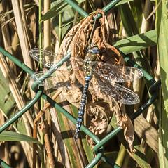 Damselflies (Mal.Durbin Photography) Tags: damselflies maldurbin newportwetlands goldcliffnewport goldclifff naturereserve nature insects