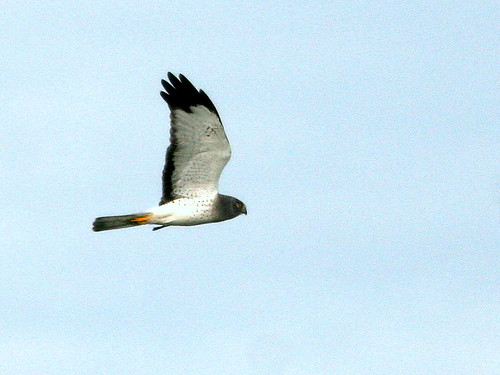 Northern Harrier male 2-20101123