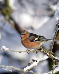 High Wire Act (day_sargent) Tags: winter bird nature scotland wings wildlife flight feathers chaffinch
