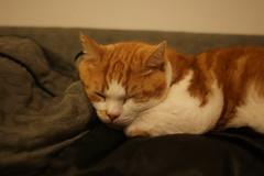 Jabba Sleeping (pepemczolz) Tags: sleeping cute cat ginger fat sony jabba asleep alpha a350