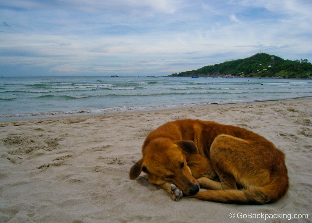 Party dog - Koh Phangan, Thailand