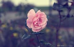 _MG_4717 (emreyaran) Tags: pink flowers flower macro rose canon photography eos 50mm 7d 18 emre yaran