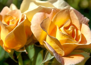 Yellow Peach Rose