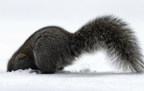 squirrel with head buried in a flurry of snow created by its digging forearms, tail standing tall