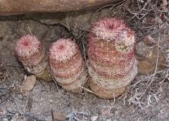 Arizona Rainbow Hedgehog Cactus (Echinocereus rigidissimus); Temporal Canyon Road, Santa Rita Mountains, W of Patagonia, AZ (Lon&Queta) Tags: arizona usa cacti unitedstatesofamerica gps 2010 coronadonf arizonarainbowhedgehogcactusechinocereusrigidissimus
