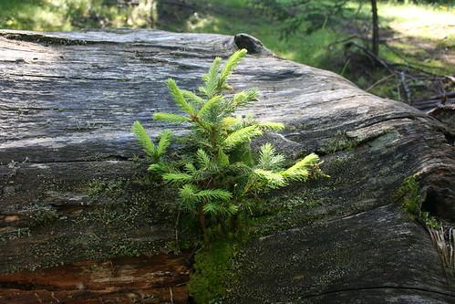 Grantræ i Virgental