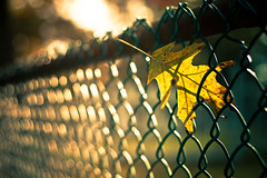 {Better Late Than Never} Fence Friday (Jaime973) Tags: green yellow canon fence 50mm leaf raw stuck bokeh friday hff spidersilk fencefriday