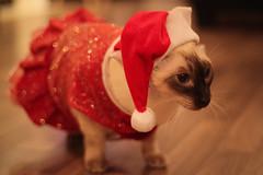 Santa Cats (Xmas 2010) (Americanuck) Tags: santa christmas costumes red cats kitties claus mrs 2010