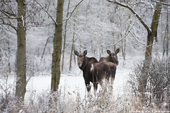 Moose (SJ Photography) Tags: park winter snow storm holland ice nature netherlands dutch forest canon photography cow photo woods foto fotografie nederland reserve s moose bull deer antlers exotic sj eland flevoland lelystad almere hert sneew oostvaardersplassen natuurgebied gewei alces alcesalces natuurpark theunforgettablepictures unforgettablepicture sebasdegraauw sjphotography