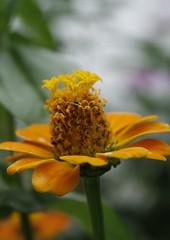 flôres no jardim - zinnia (Gilda Tonello) Tags: canon natureza jardim flôres