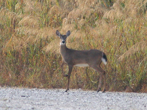 White-tailed Deer 20101223