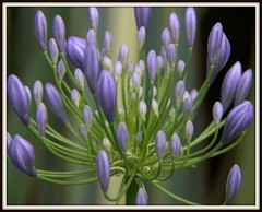 Agapanthus genious (W J (Bill) Harrison) Tags: newzealand flower nature garden colours nz buds agapanthus picnik canoneos50d wonderfulworldofflowers wjbillharrison