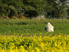 All the way alone (Asif Adnan Shajal) Tags: life winter woman green rural village widow mustardfield asif adnan villagelife rurallife mustardflower mymenshing shajal framebangladesh asifadnanshajal mymenshingbangladesh allthewayalone