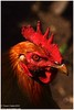 Cockerel (Naseer Ommer) Tags: india canon kerala veterinarian veterinary palghat cockerel animalhusbandry naseerommer canon300mm malechicken canoneos7d discoverplanetinternational indigenousbreedofchickenkerala