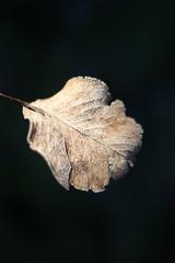 (Tambourine3) Tags: winter cold hoja ice garden leaf freezing invierno fro hielo jardn helada escarcha