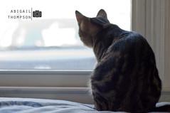 355/365 - Window Seat (aithom2) Tags: light window kitten sitting bright bokeh watching kitty depthoffield pixel project365