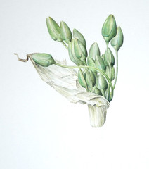 First flowerhead of Nectaroscordum siculum (Sigrid de Vries - Frensen) Tags: flower green art painting botanical wip watercolour onion honeybell nectaroscordum