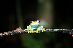 Boophis viridis (Armin Hofen) Tags: africa yellow eyes branch amphibian frog tropical stick subtropical frosch madagascar animalia frontview andasibe anura amphibia madagaskar chordata nikonschool mantellidae boophis boophisviridis tanalahorizon greenbrighteyedfrog