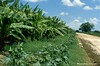 Afgoi, Somalia (aikassim) Tags: farm agriculture somalia hornofafrica eastafrica مزرعة afgooye الصومال afgoi shebeelahahoose