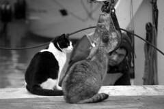 Cara, ti andrebbe una sardina? (carlocava) Tags: bw italy cat boat nikon barca italia harbour bn porto fishingboat gatti bianconero molo marche senigallia pescatore gattoni darsena gattini peschereccio d5000 nikond5000