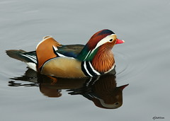 Drake Mandarin on Calm Water (claylaner) Tags: park duck cheshire country january mandarin 1001nights aixgalericulata etherow 2011 compstall